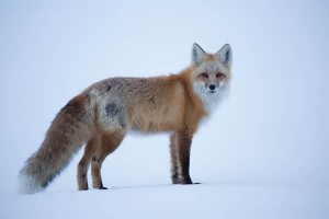 First wildlife encounter, a red fox. After this pose, it ran up to a ridge where there was a companion.