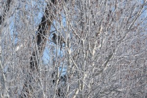 Can you find the Ruffed Grouse?