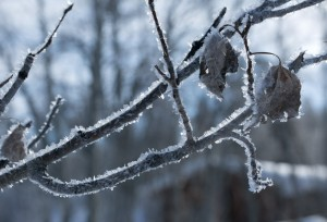 Hoar frost on the trees.