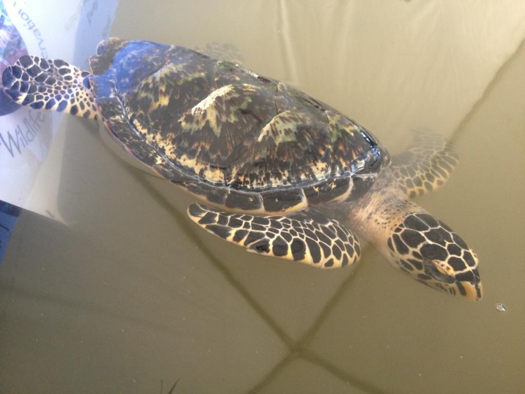 Haksbill swimming
